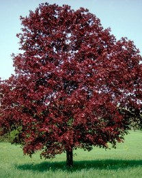 Acer platanoides 'Royal Red' - Royal Red Norway Maple