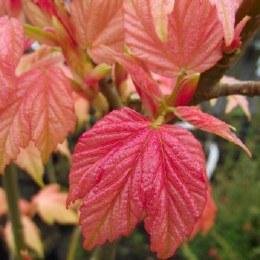 Acer pseudoplatanus 'Prinz Handjéry'
