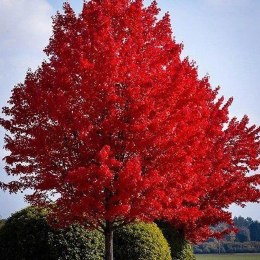 Acer rubrum October Glory - Canadian Maple Tree
