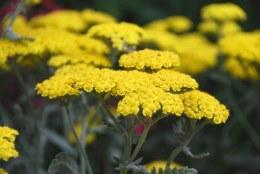 Achillea 'Moonshine' - Yarrow