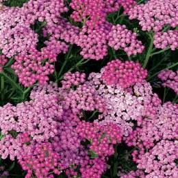 Achillea 'Pink'