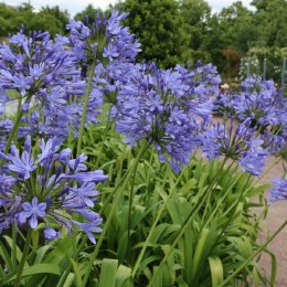 Agapanthus Blue Umbrella - African Lily