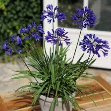 Agapanthus 'Brilliant Blue'