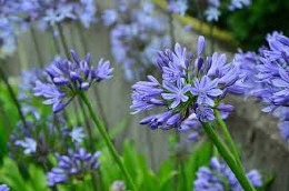 Agapanthus africanus - African Lily
