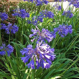 Agapanthus Blue Eyes | African Lily