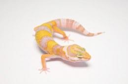 Albino Leopard Gecko