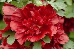Alcea Spring Celebrities Crimson