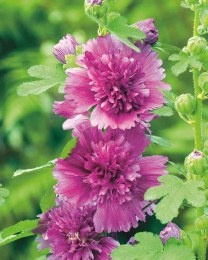 Alcea rosea Spring Celebrities Purple 2L