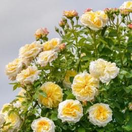 Alchymist Climbing Rose 5 Litre