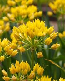 Allium 'Moly' 30 bulbs
