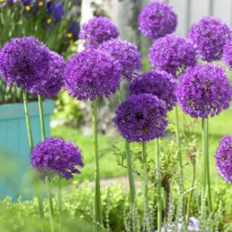 Allium 'Purple Sensation'  3ltr