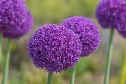 Allium 'Ambassador' 1 Loose XL Bulb