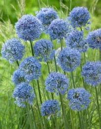 Allium 'Caeruleum' 8 Pack