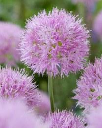 Allium Carolinianum Rosy
