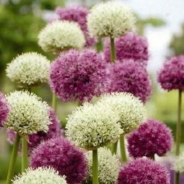 Allium Kings and Queens 15 Pack