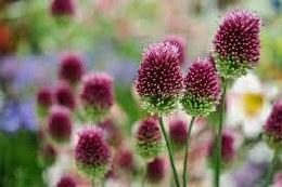 Allium sphaerocephalon 'Drumsticks' 20 Pack