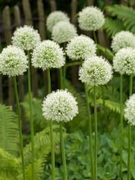 Allium stipitatum Mont Blanc - 3 Litre