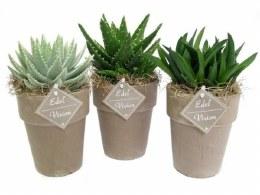 Aloe Haworthia in 11cm Terracotta Pot