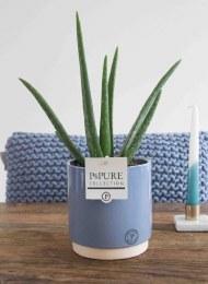 Aloe Vera Plant in Ceramic Pot 12cm