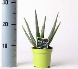 Aloe Vera in Green Pot 12cm