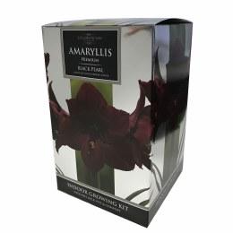 Amaryllis Bulb Black Pearl