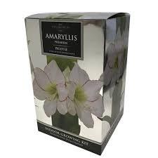 Amaryllis Bulb Picotee