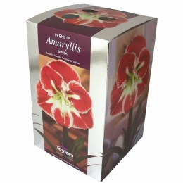 Amaryllis Bulb Samba Premium