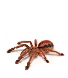 Amazon Ribbed Tarantula