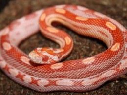 Anery Motley Corn Snake CB20