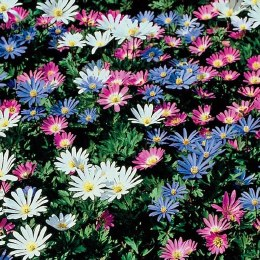 Anemone Blanda Mix | Winter Windflower