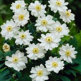 Anemone x hybrida 'Whirlwind' | Japanese Anemone 'Whirlwind'