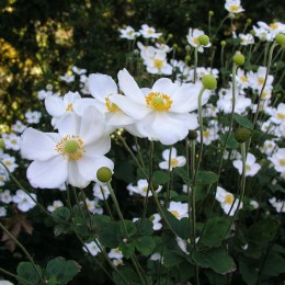 Anemone x hybrida 'Honorine Jobert' | Japanese anemone