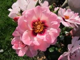 Angel Eyes Floribunda Rose 3.5 Litre
