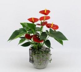 Anthurium Arrangement in 15cm Ceramic Pot