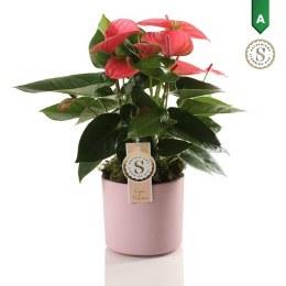 Anthurium Pink Champion in 12cm Pink Ceramic Pot