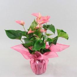 Anthurium Pink Explosion P17