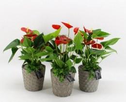 Anthurium arrangement in 14cm Ceramic Pot