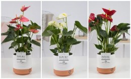 Anthurium Diamond Mix in Ceramic Pot