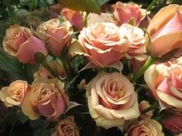 Antigua Hybrid Tea Rose 3.5 Litre