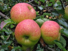 Apple 'Bramley's Seedling' | Dwarf Cooking Apple