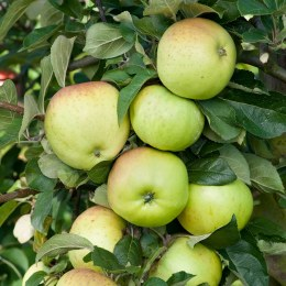 Apple 'Grenadier' - Self Fertile Cooking Apple Tree