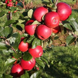 Apple 'Red Windsor' 2 year Bush - Self Fertile