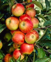 Apple 'Elstar' 2 Year Bush