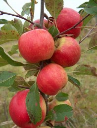 Apple Falstaff 2 Year Bush - Self Fertile