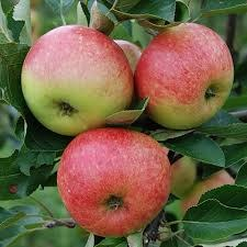 Apple 'James Grieve' 2 Year Bush