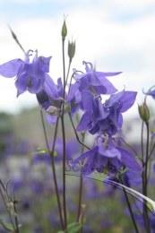 Aquilegia vulgaris 'Woodside'