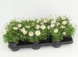 Argyranthemum Frutescens White P10.5