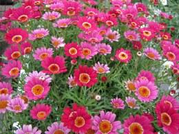 Argyranthemum Hot Pink Crested