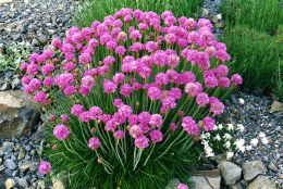 Armeria maritima Armada Rose Alpine in 9cm Pot