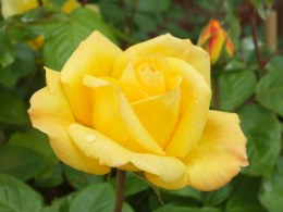 Arthur Bell Floribunda Rose - 3.5 Litre
